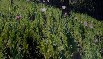 Destruyen siete plantíos de amapola en Jalisco. (PGR)