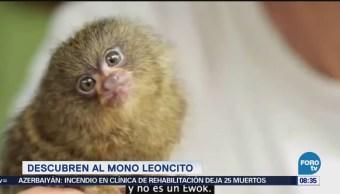 Extra Extra: Descubren al mono leoncito