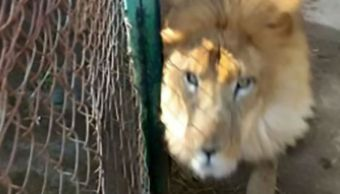 leon-mata-cuidador-jaula-tulancingo-zoologico-tulancingo-hidalgo