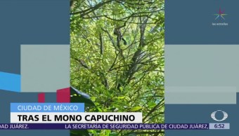 Siguen Buscando Mono Capuchino Huyó Casa Particular Cdmx
