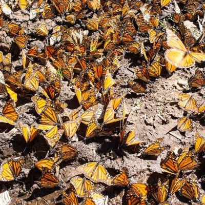 Expertos de México y EU analizan efecto polinizador de la mariposa monarca