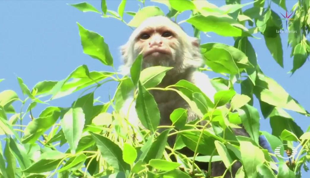 Mono capuchino que deambula en Lomas de Chapultepec no ha sido ubicado