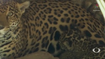 Nace jaguar amarillo en zoológico de Chiapas