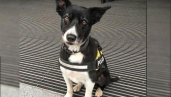Premiarán a perro policía por su heroica labor en atentado de Manchester