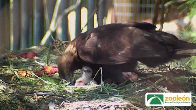 zoologico leon logra reproduccion aguila real