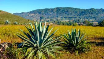 Henequén, planta que da identidad a la cultura milenaria de los mayas