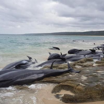 Rescatan sólo a cinco de 150 ballenas varadas en Australia
