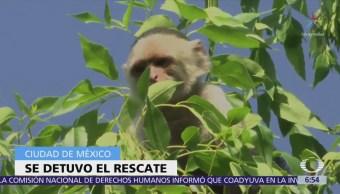 Suspenden temporalmente rescate de mono capuchino en Lomas de Chapultepec