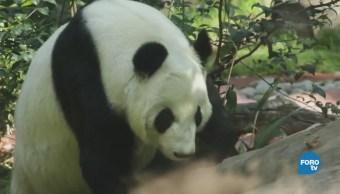Un día con los pandas del zoológico de Chapultepec
