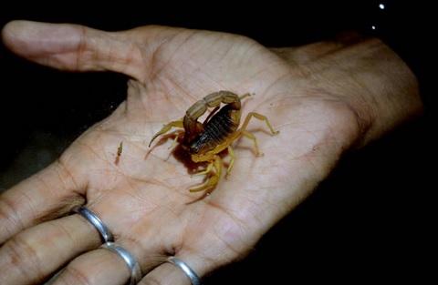 Incrementan hasta en 60% las picaduras de alacrán en Sonora