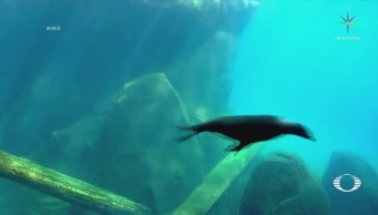Aletas de león marino inspiran a mejorar submarinos