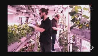 Cosechan verduras cultivadas en condiciones extremas, en la Antártida