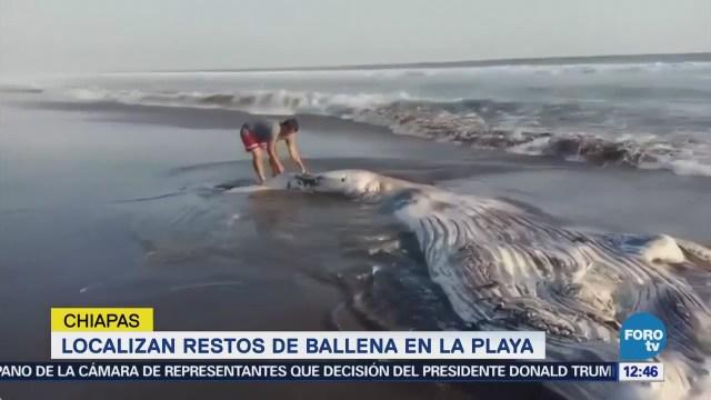 Encuentran restos de cría de ballena jorobada en playa de Chiapas