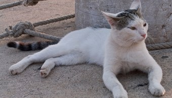 Gato llevaba celular a prisionero en Costa Rica