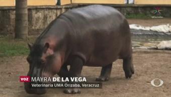 Hipopótamo 'Tyson' tiene nueva casa en Orizaba