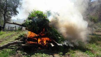 Destruyen más de 73 mil plantas de marihuana en Jalisco