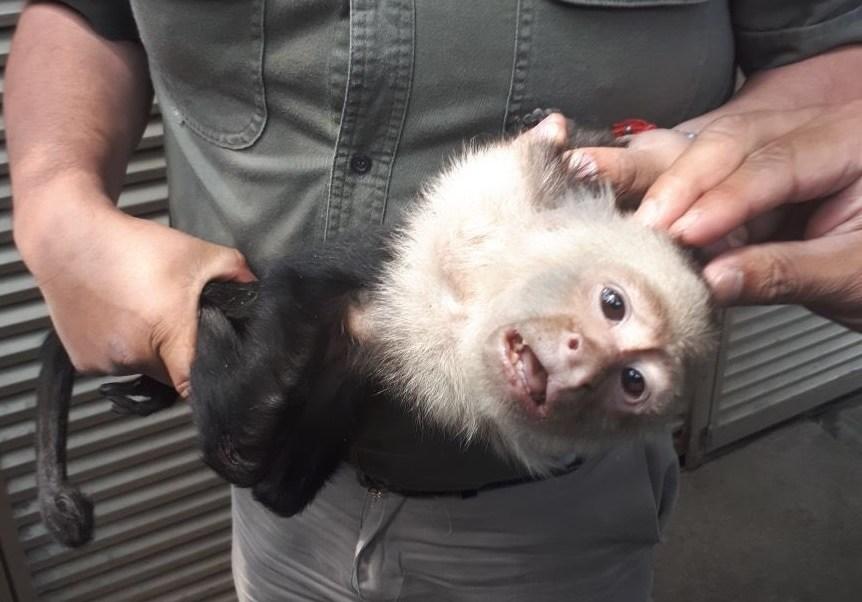 Capturan al mono capuchino que vagaba por árboles de Las Lomas
