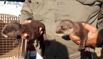 Profepa rescata a dos crías de nutrias en Tabasco