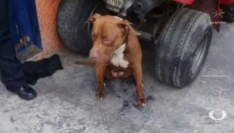 Pitbull que atacó a siete menores en Iztacalco podría ser sacrificado