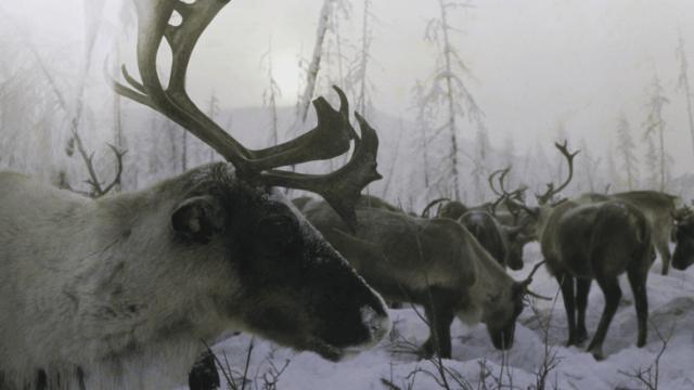 Cientos de renos mueren de hambre en Siberia
