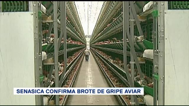 Senasica Confirma Brote Gripe Aviar Influenza