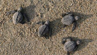 Concluye temporada de anidación de tortugas golfinas en costas de Oaxaca