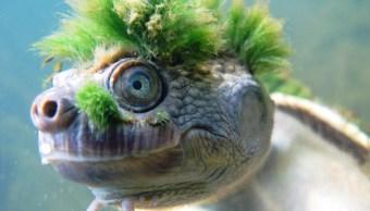 tortuga-punk-pelo-verde-que-respira-ano-esta-extinguirse