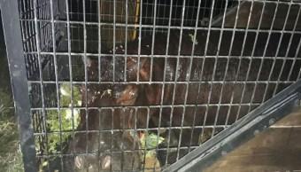 Reciben a hipopótamo 'Tyson' en reserva de UMA en Orizaba, Veracruz