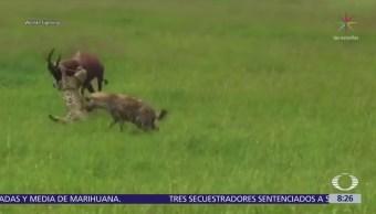 Antílope escapa del ataque de cinco guepardos