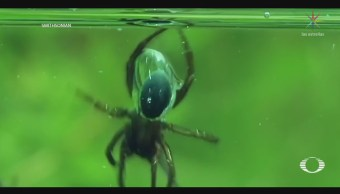 Araña utiliza escanfadra para permanecer bajo
