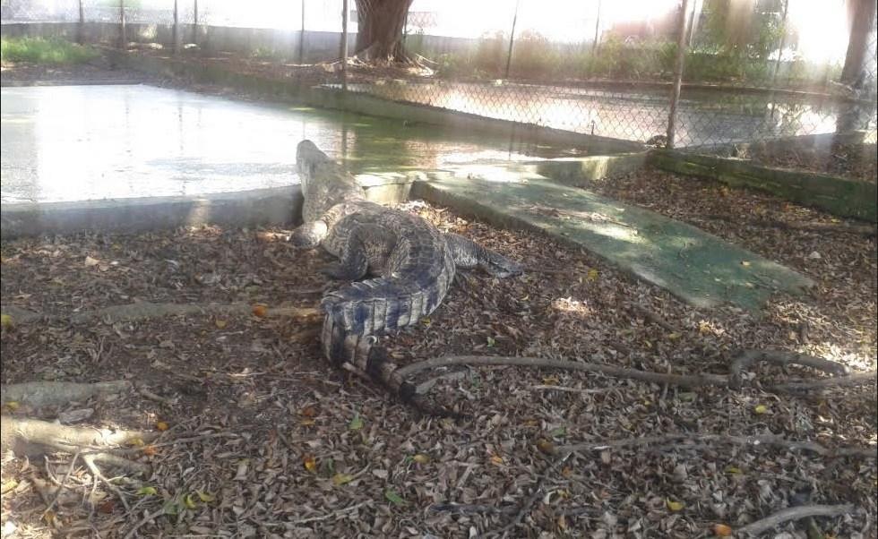 Aseguran dos cocodrilos dentro de una empresa en Villahermosa, Tabasco