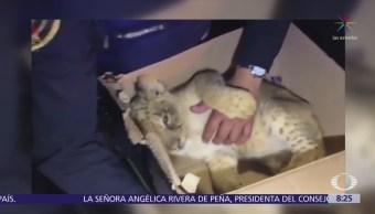 Aseguran un cachorro de león y mono araña en Tepito