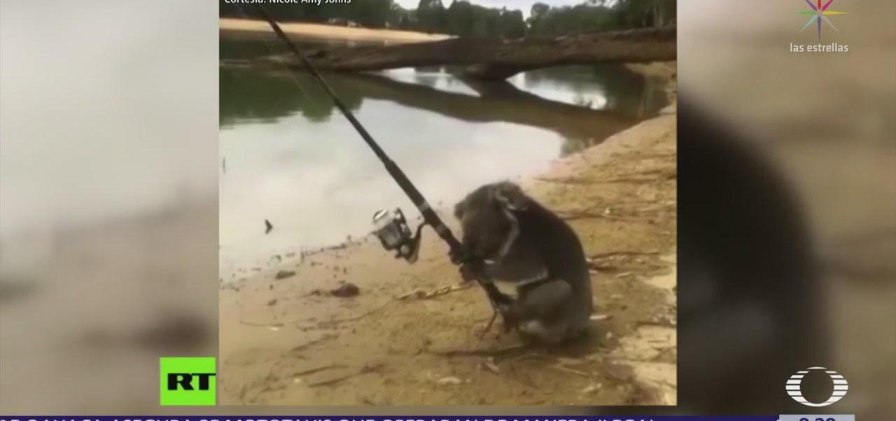 Captan a un koala pescando en Australia