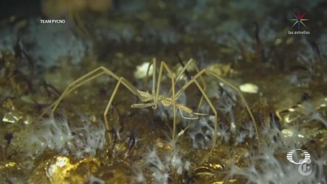 Cómo respiran las arañas marina