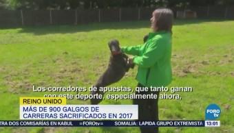 Controversia en Reino Unido por sacrificio de perros galgos
