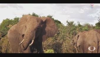 Elefantes se comunican con vibraciones en el suelo