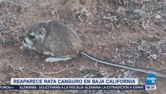 Extra Extra: Reaparece la rata canguro en Baja California