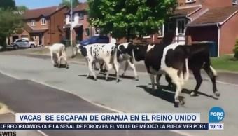 Vacas se adueñan de ciudad de