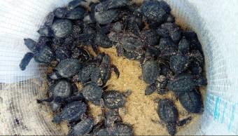 inicia nacimientos de tortugas lora en tamaulipas