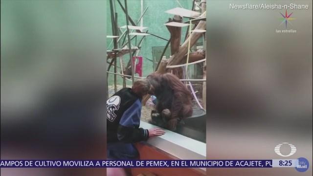 Orangután besa a visitante de zoológico