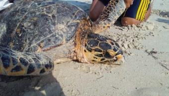 Rescatan a tortuga carey varada en biosfera de Yucatán