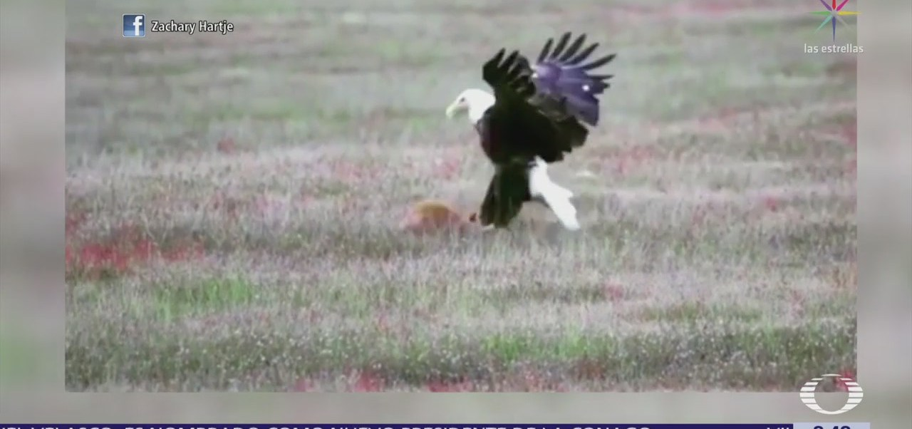 Zorro y águila pelean por su presa
