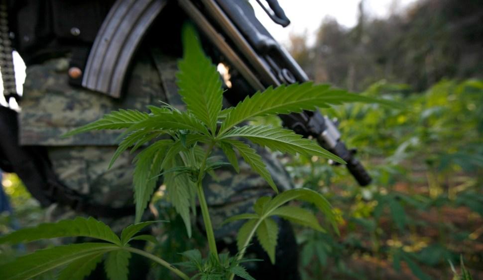 Campesinos de Guerrero cambian la amapola por marihuana