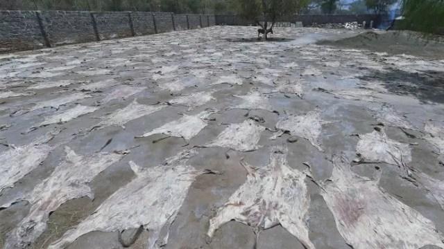 Denuncian robo burros África satisfacer demanda china