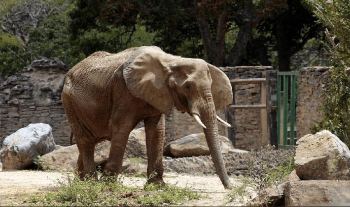 Muere Ruperta, la elefanta que logró vivir 48 anos en cautiverio