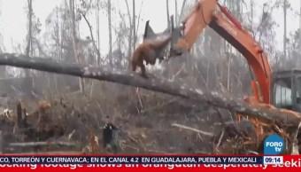 Extra Orangután pelea con una excavadora