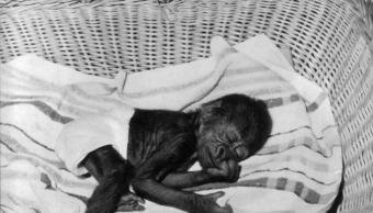 Primer gorila nacido en zoo europeo muere en Basilea, Suiza