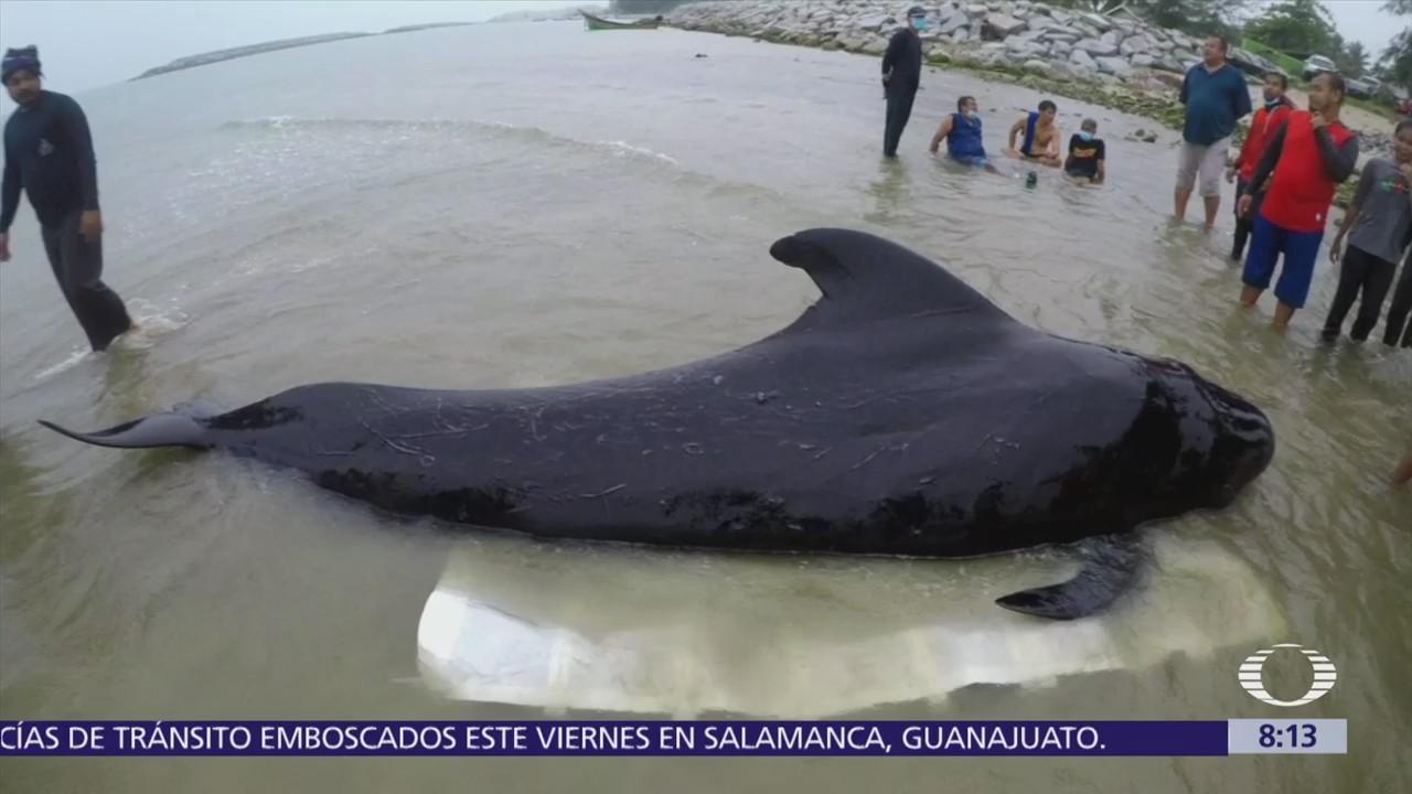 Muere ballena por comer plástico desechado en el mar