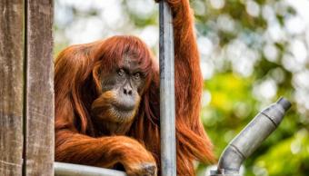 Muere en un zoo australiano la orangutana más vieja