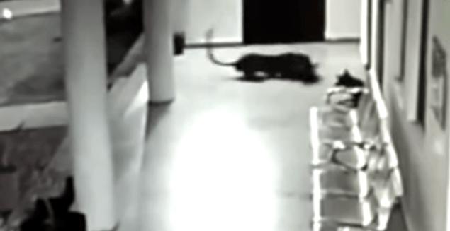 Perra, Leopardo, Cachorro, Salvar, Video, India